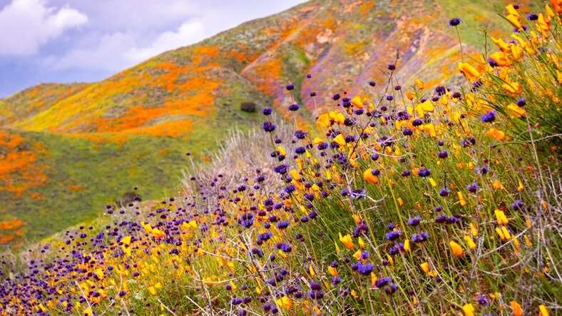 hillside of wildflowers and California poppies